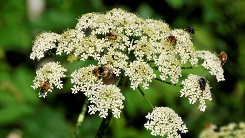 Giant Hogweed is a public health hazard due to its toxic sap