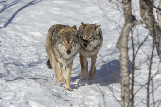 Should Ireland reintroduce wolves to the wild?