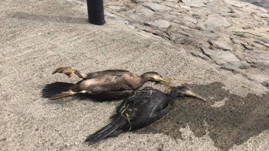 Birds taken to sanctuary after River Shannon oil spill