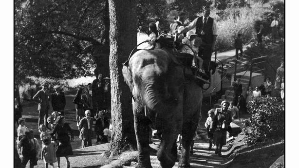 Sarah the elephant giving rides around Dublin Zoo, accompanied by Jim Kenny
