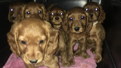 The six puppies were concealed among furniture in a van at Dublin Port