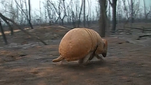 Armadillos are among the animals dying in the blaze