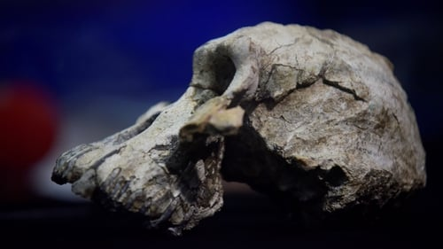 The discovery of the skull, known as MRD, has the potential to alter our understanding of human evolution