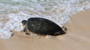 Raine Island is the largest nesting site for green turtles in the world (Pics: Queensland Parks and Wildlife Services Raine Island Recovery Project team)