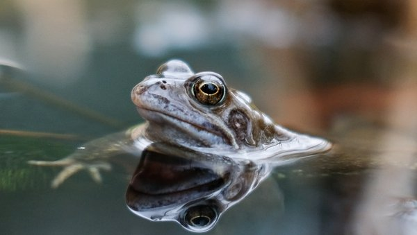 'Frogs are a very key species in the food web'