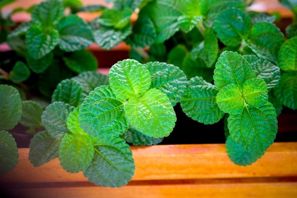 Grow mint in a pot to stop it taking over the square (iStock/PA)