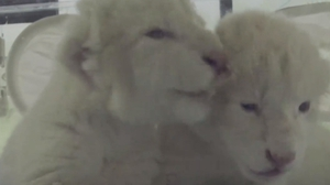 Rare white lion cubs born in East China