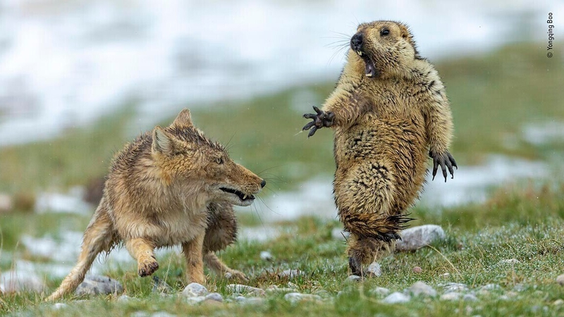 Fox and marmot stand-off wins wildlife photo prize