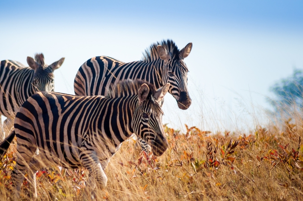 Group of wild zebras running through long grass at Mlilwane Wildlife Sanctuary