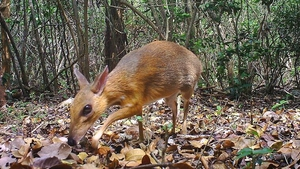 The Vietnamese mouse-deer was last recorded in 1990 (Pic Global Wildlife Conservation)