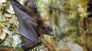 The Rodrigues fruit bat is an endangered species of wildfire