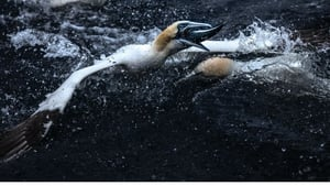 Gannets feeding frenzy - one of the remarkable images in Ken O'Sullivan's wonderful new book