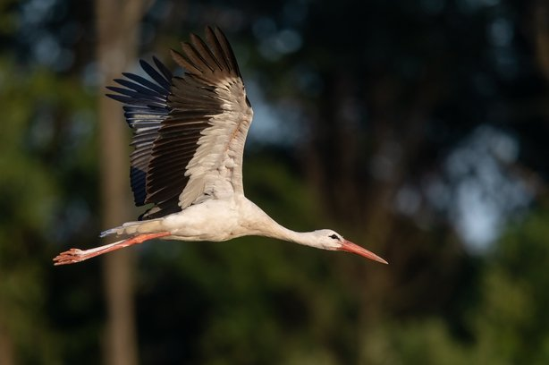 The White Stork. Photo: Getty Images