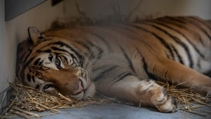 The nine tigers that survived the illegal transport from Italy to Russia spent a few weeks recovering at a Polish zoo