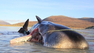 Whale experts said that it was not immediately clear whether the debris had contributed to the whale's death. Pics: Scottish Marine Animal Stranding Scheme (SMASS)