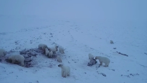 Villagers say they are waiting for stronger ice to form so that the bears leave the area