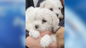 The PSNI has said buying puppies fro illegal breeders can have devastating results (Pic: PSNI)
