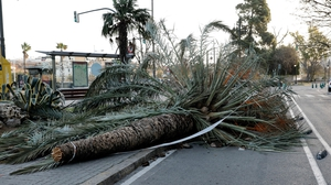 Strong winds from Storm Fabien brought down trees, like this one in Valencia in Spain