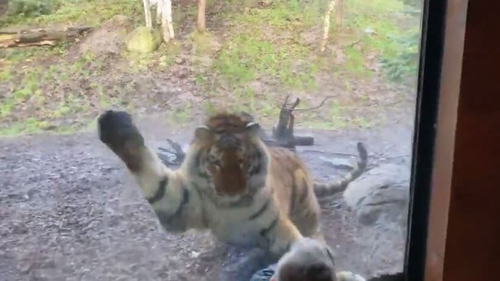 The tiger leaps and pounces at the boy (Pic: @r0bc)