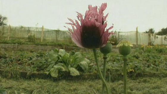Poppy growing at Irish Seed Savers Association, Scariff (2000)