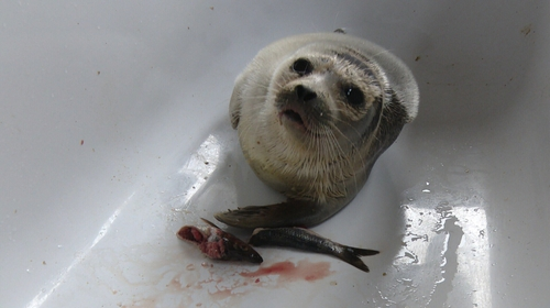 Seal Rescue Ireland is currently liaising with experts in Alaska and Holland for a care plan for Cloudberry