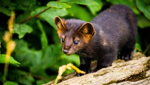 A sable is a species of marten, which is a small carnivorous mammal (File pic: Getty)