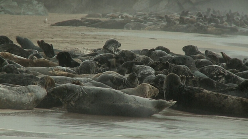 Pilot scheme to shoot seals on Irish coastal waters is being considered by the Government