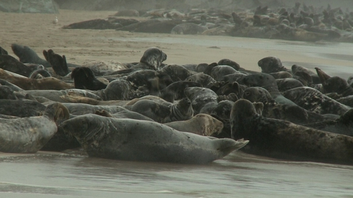 Fishermen say the seals pose a threat to their livelihoods