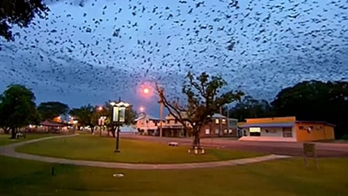 Bats are protected under Queensland state law, limiting the ways the local government can respond to the infestation