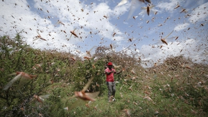 The locusts have destroyed thousands of crops