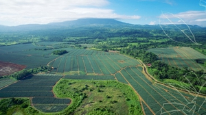 The Las Brisas pineapple farm in Costa Rica produces over 24 million pineapples a year