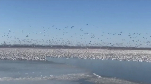 This footage shows the birds flocking on the lake, in a sensational show of nature.