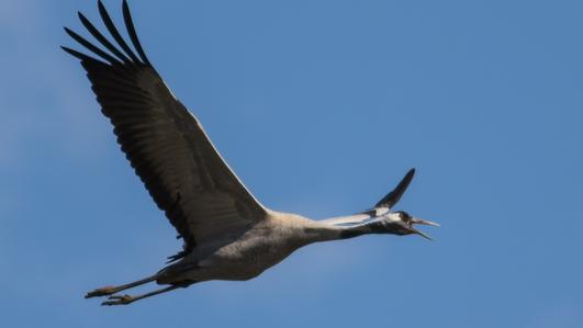 European Crane in Ireland