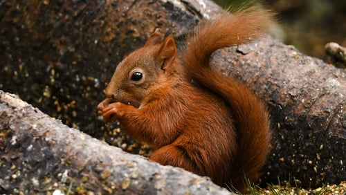 Red squirrel population rebounding with help from a native predator