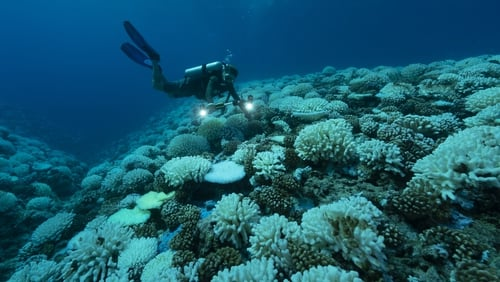 A diver looks at a case of a major bleaching on the coral reefs of the Society Islands in Moorea, French Polynesia. Photo: Alexis Rosenfeld/Getty Images