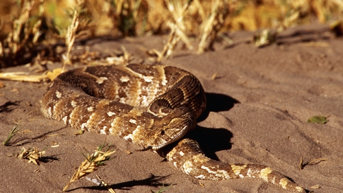 The puff adder is native to Africa and western Arabia