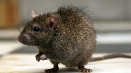 Pest controllers have noticed a 40-60%increase in rodent infestations indoors