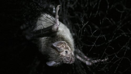 Vampire bats have long been feared by indigenous communities in the Peruvian Amazon due to their ability to spread rabies