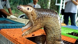 Pangolins are being blamed as a possible source of the pandemic