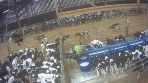 The unweaned calves are bound for veal farms in the Netherlands (pic: Eyes on Animals)