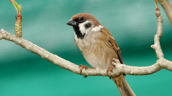 Tree Sparrow. Photo: Richard T Mills.