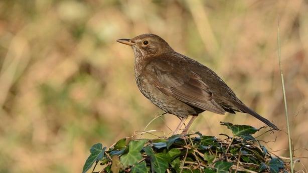 Blackbird 03 female Brian Burke
