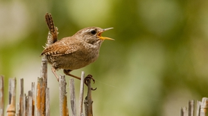 The little wren at large. Photo: Michael Finn