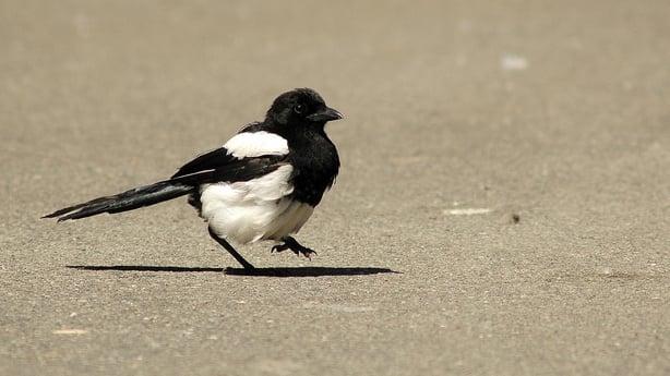Magpie. Photo: Brian Burke