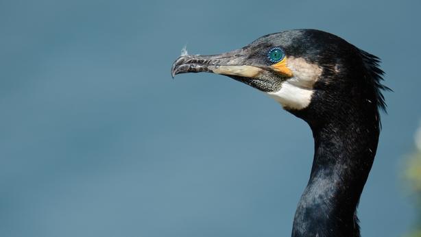 Cormorant. Photo: Brian Burke