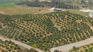 An olive grove near Almodovar del Rio in Cordoba, Spain
