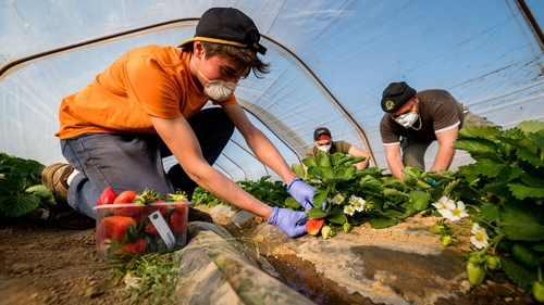 Pickers gather strawberries in a greenhouse wearing protective masks in Casteldidone, Italy