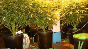 Cannabis plants with an estimated combined value of €94,000 were seized at different premises