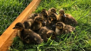 The ducklings are being gradually acclimatised to the outdoors in a wired enclosure