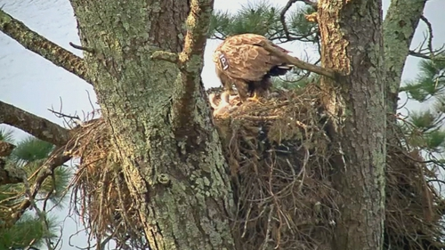 The live webcam is focused on the nest on Garnish Island near Glangarriff